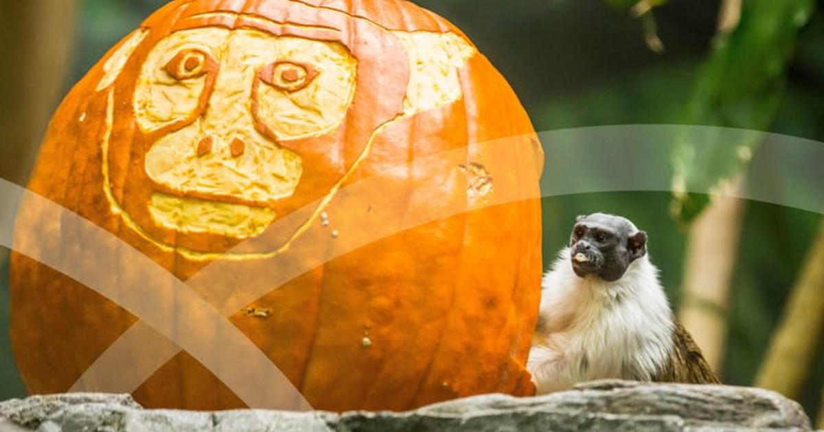 Adults Night Out: The Great Pumpkin Glow at Lincoln Park Zoo